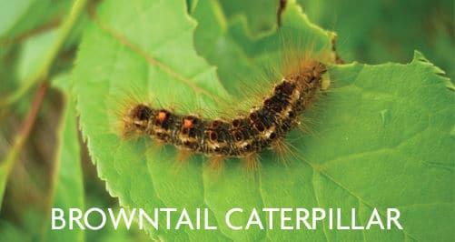Browntail Caterpillar Treatment Options